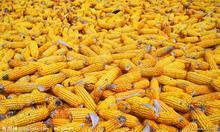 求购玉米油糠DDGS等饲料原料