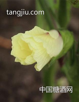 黄秋-葵鲜果