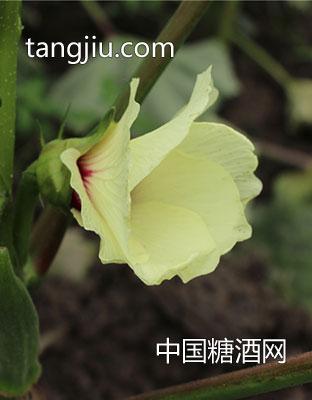 黄秋葵鲜-果