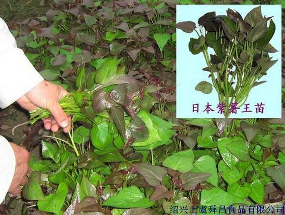 供应紫薯苗(紫薯王)