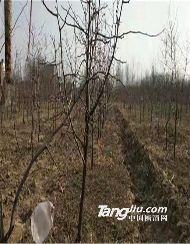 冬枣树苗春季新品热销基地
